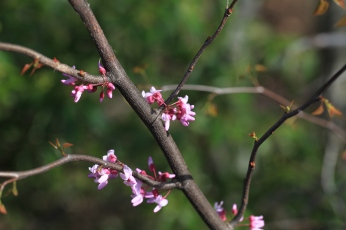 Blooming redbud tree, Cumberland Gap National Park, Tennessee