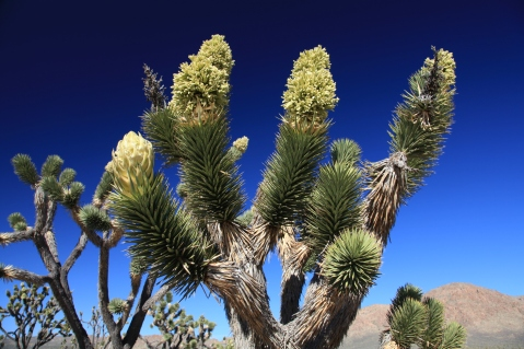 Joshua tree, Joshua Tree National Park, California