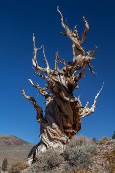 Ancient Bristlecone Pine, California