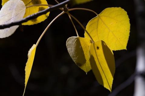 Aspen Leaves, Silver Lake, California