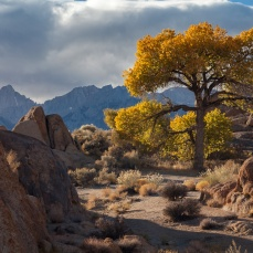 Solitary cottonwood tree, Alabama Hills