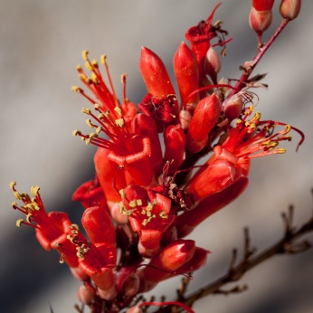Ocotillo bloom