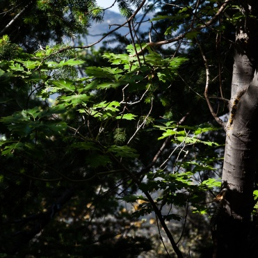 Oak leaves catching the sun along CA 38