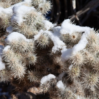 Snowy Cholla cactus