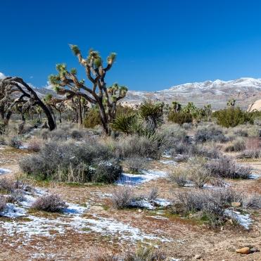Joshua Trees & Little San Bernardino Mountains