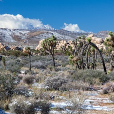 Joshua Trees & Little San Bernardino Mountains