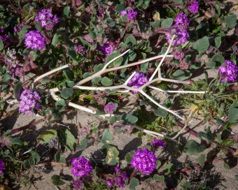 Wildflowers in bloom in the Anza-Borrego Desert 3 March 2019