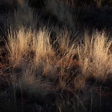 Early sun on drief grass